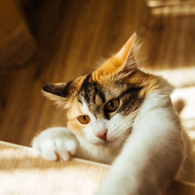 """""""cat is ready for jumping. Warm toning image. Lifestyle pet concept."""" stock image"""