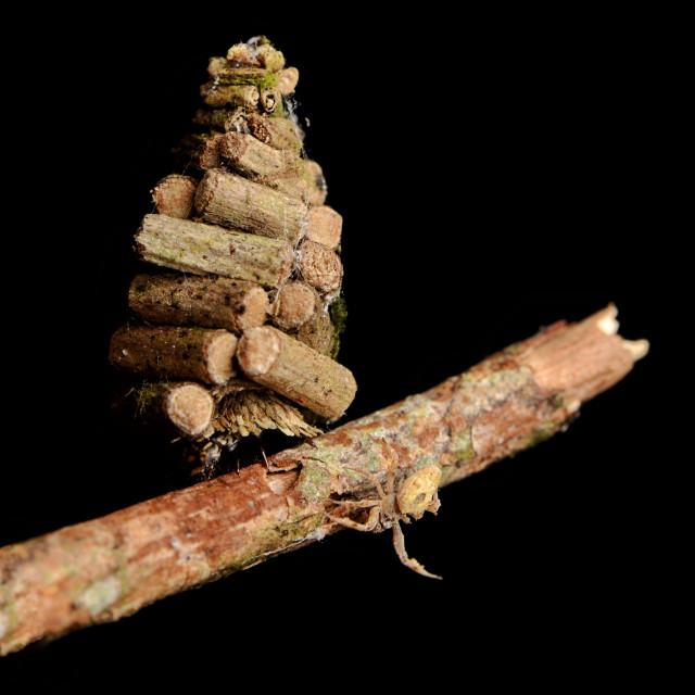 """Bagworm moth larva and tiny spider"" stock image"
