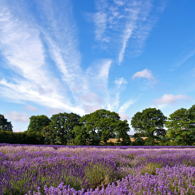 """Lavender Fields 2"" stock image"