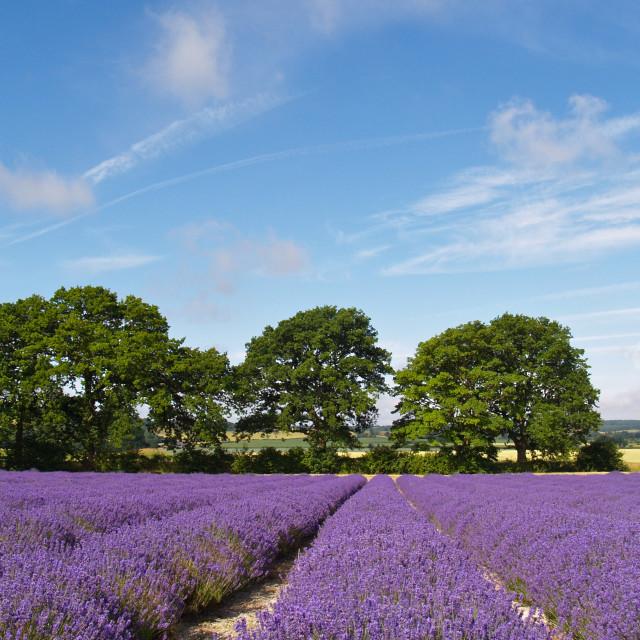 """Ripening English Lavender"" stock image"