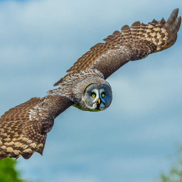 """A Great Grey Owl in flight"" stock image"