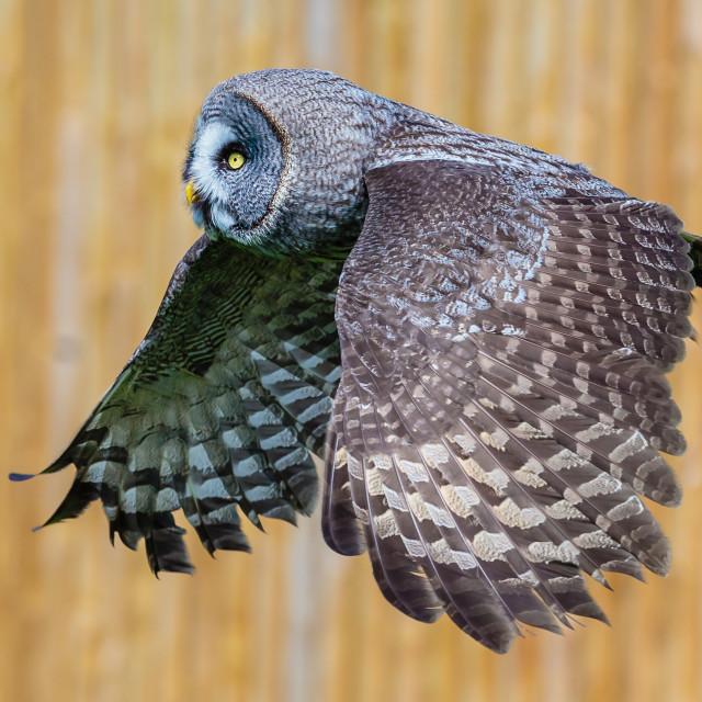 """Great Grey Owl in flight"" stock image"