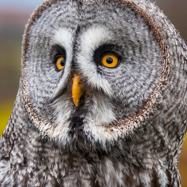 """""""A Great Grey Owl looking to its right showing off its facial ruff"""" stock image"""