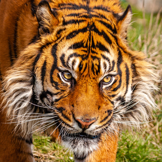 """Face of a Sumatran Tiger"" stock image"
