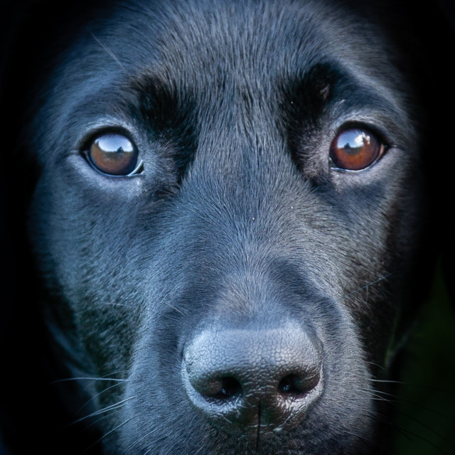 """""""Wonderful face of a Black Lab puppy"""" stock image"""