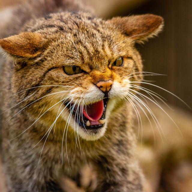 """Snarling Scottish Wild cat"" stock image"