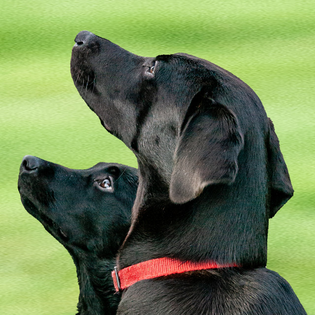 """Black Labrador dogs watching their handler"" stock image"