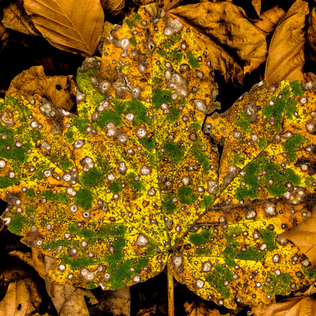 """Decaying autumn leaf"" stock image"