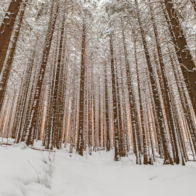 """""""Sunrise in winter forest"""" stock image"""