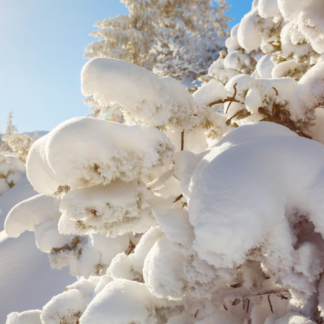 """""""Winter landscape, pine tree covered by snow lit by morning sun"""" stock image"""