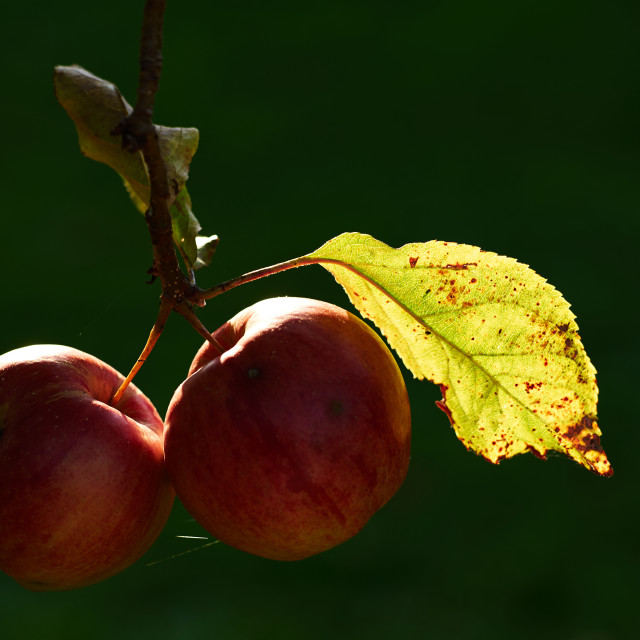 """Two apples"" stock image"