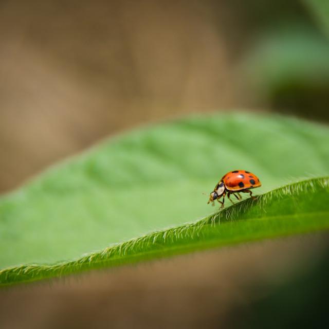 """""""#002 Ladybug on Soybean Leaf"""" stock image"""