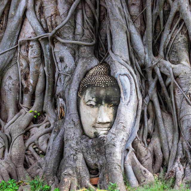 """""""Head of Buddha statue in root of bodhi tree at Wat Mahathat in Ayutthaya"""" stock image"""