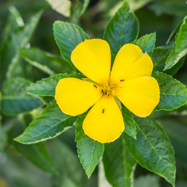 """""""Yellow flower blooming in the garden, Ant on flower, ramgoat dashalong"""" stock image"""