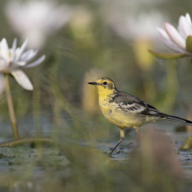 """The wagtail and lotus flowers"" stock image"