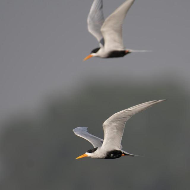 """Black-bellied tern"" stock image"