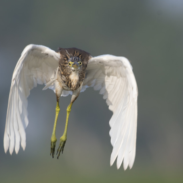 """Indian pond heron in flight"" stock image"
