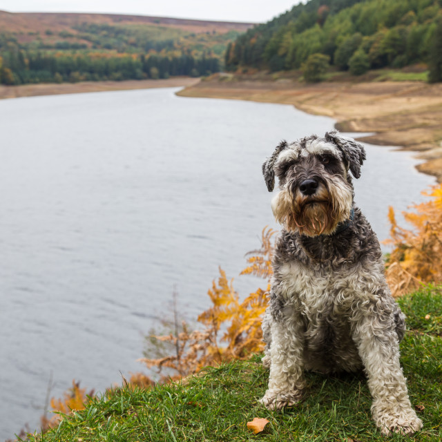 """Miniature Schnauzer sat beside the Derwent Reservoir"" stock image"