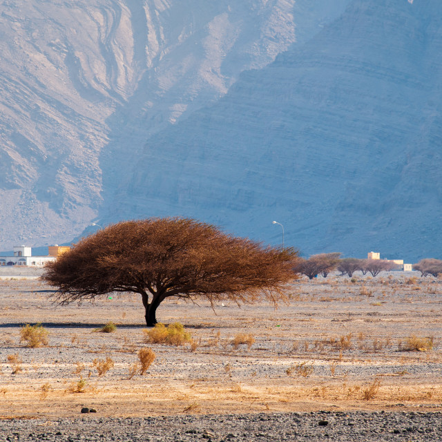 """""""Small tree in a desert with rock background"""" stock image"""