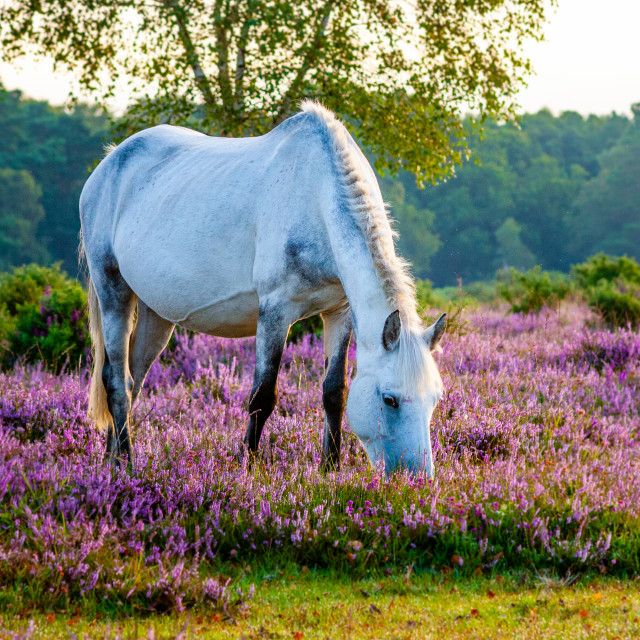 """""""Grey in the heather"""" stock image"""