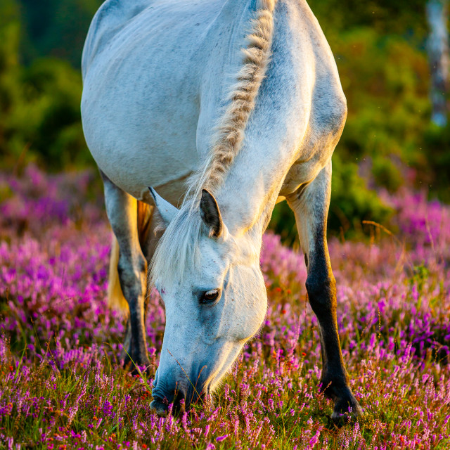"""""""A Grey Horse in the Heather"""" stock image"""