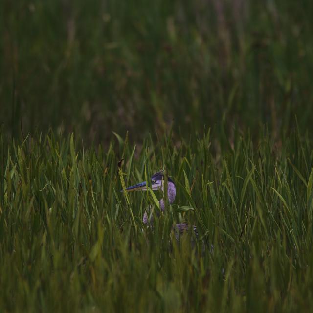 """Land of Herons"" stock image"