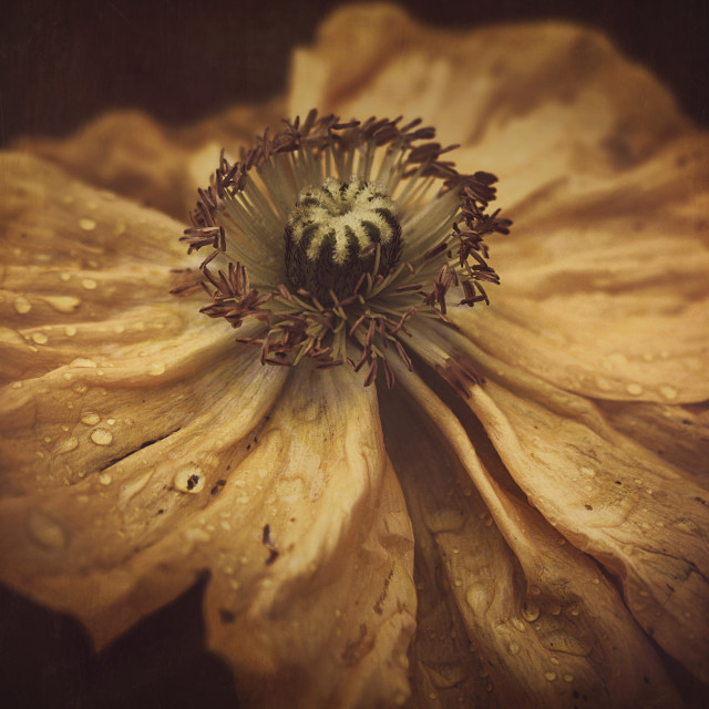"""Golden Poppy"" stock image"