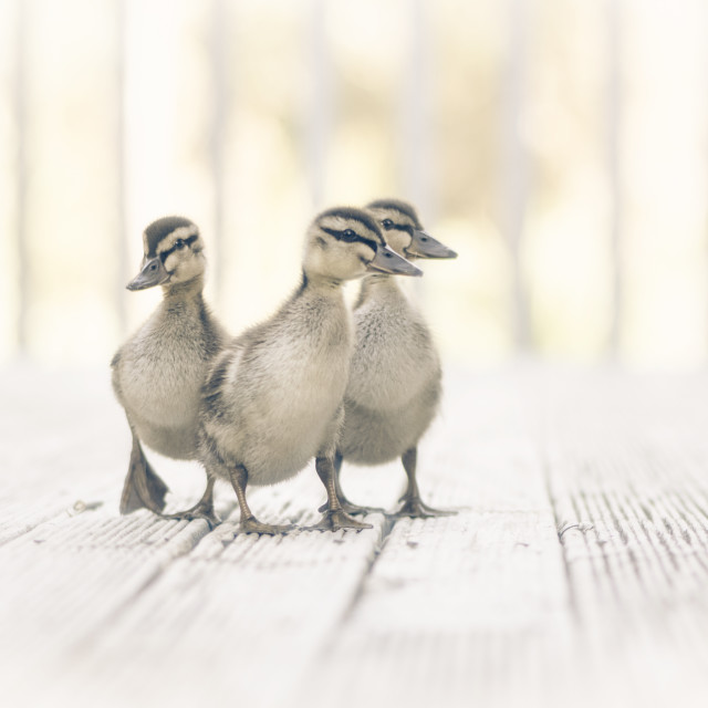 """Three ducklings"" stock image"