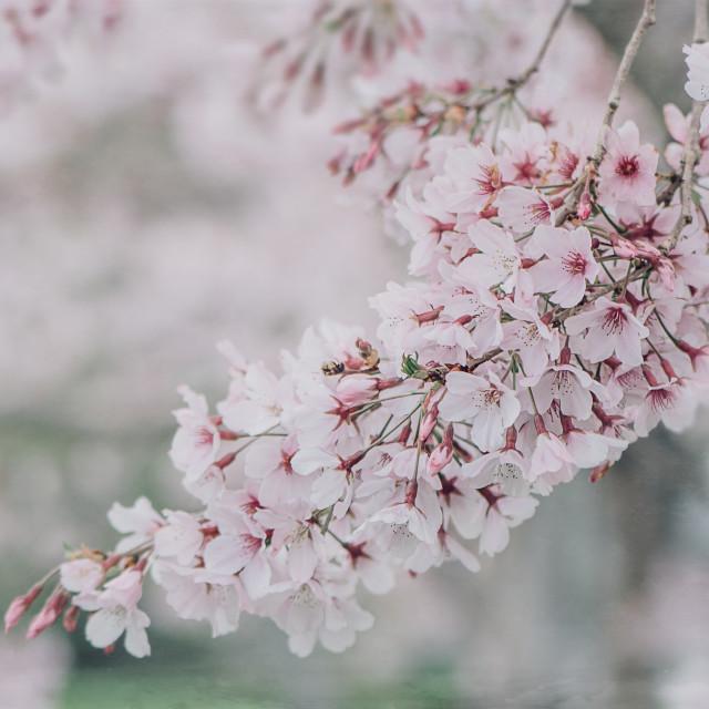 """Cherry Blossom Tree"" stock image"