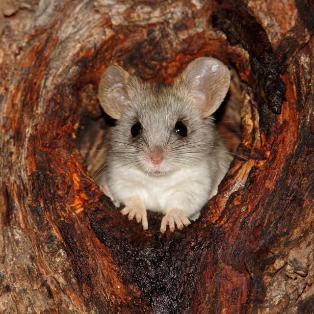 """Acacia tree rat"" stock image"