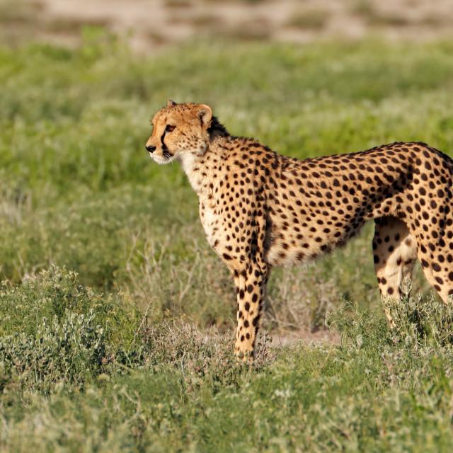 """Alert cheetah on the hunt"" stock image"