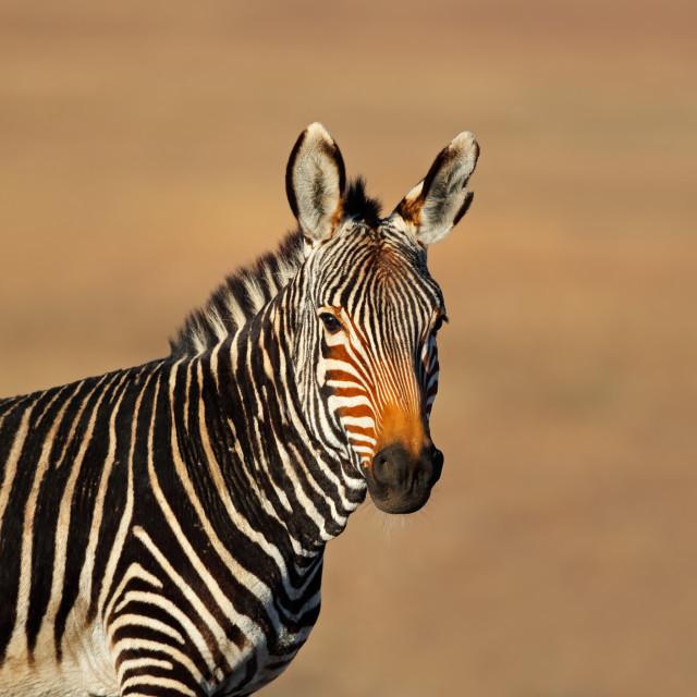 """Cape mountain zebra portrait"" stock image"