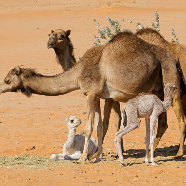 """Camels with young calves"" stock image"