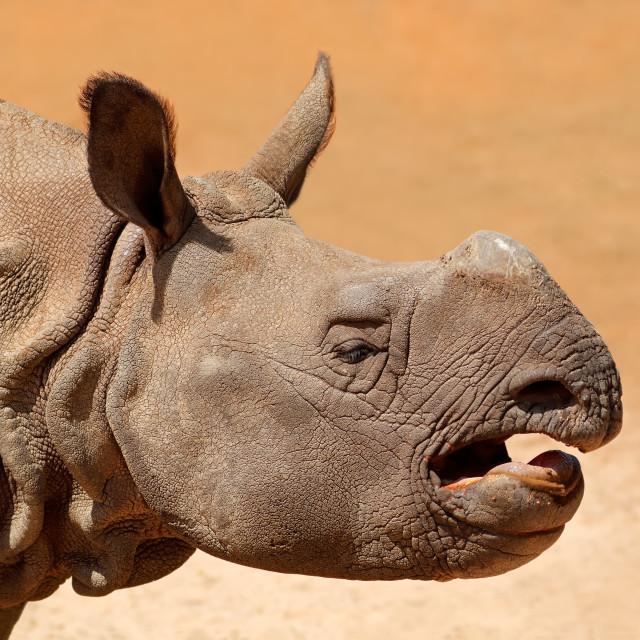"""Indian rhinoceros portrait"" stock image"