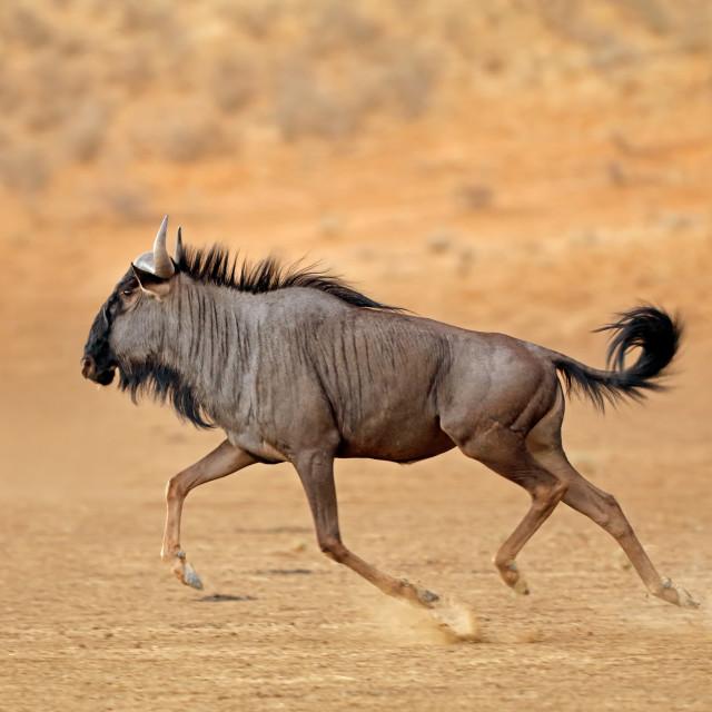 """Running blue wildebeest"" stock image"