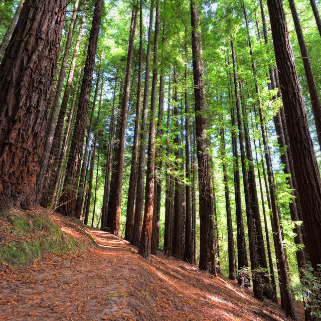 """Sequoias in Cabezon de la Sal, Spain."" stock image"