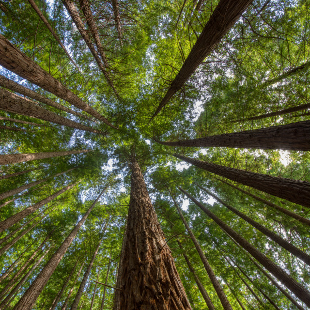 """Sequoias in Cabezon de la Sal, Spain. View from below."" stock image"