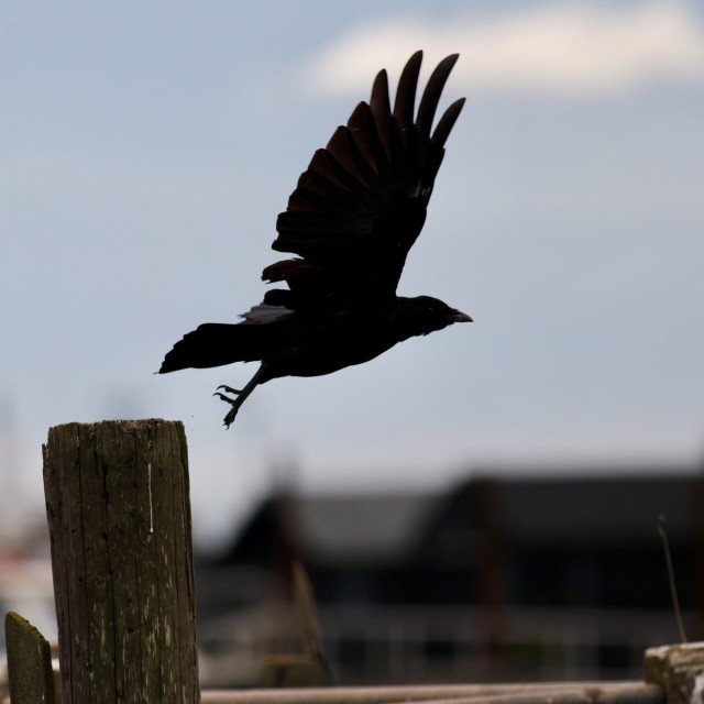 """""""Crow taking off"""" stock image"""