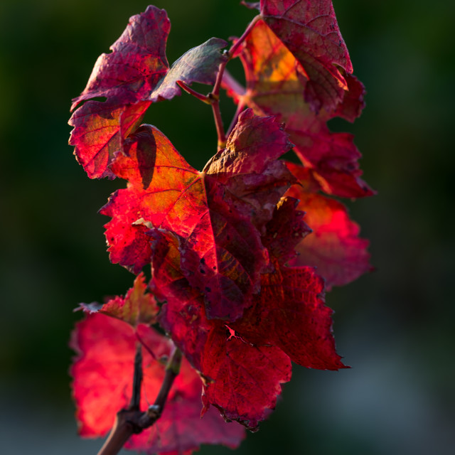 """Colours of autumn leaves in the vineyard"" stock image"