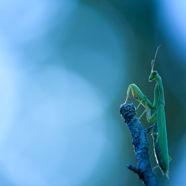 """praying mantis in praying posture"" stock image"