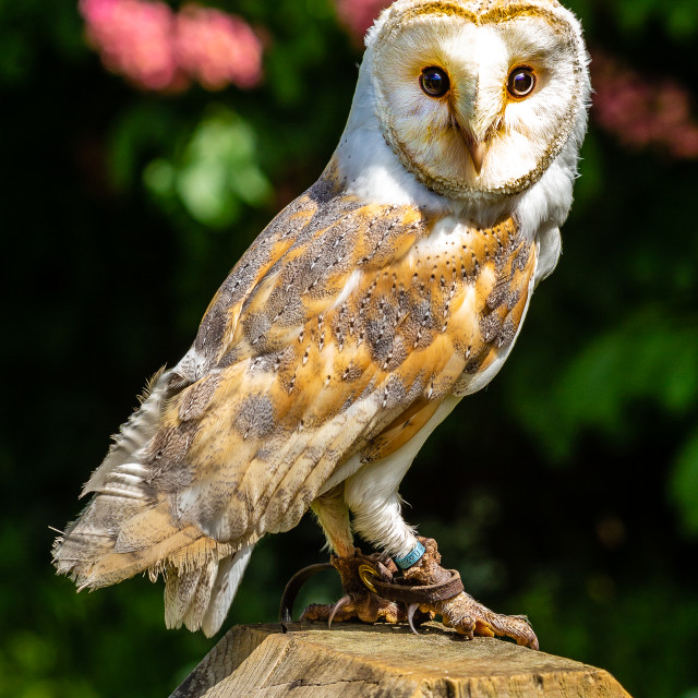 """A hand reared Barn Owl sat on a post"" stock image"