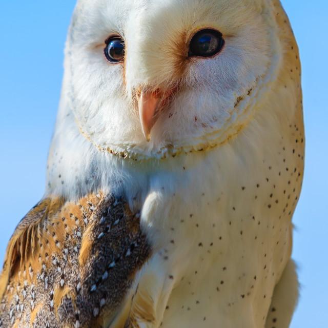 """""""A barn Owl against a blue sky"""" stock image"""