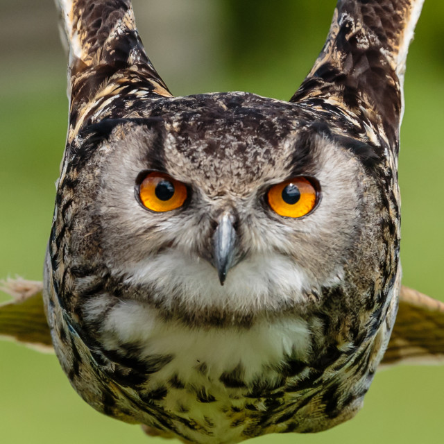 """European Eagle Owl flying towards the camera"" stock image"