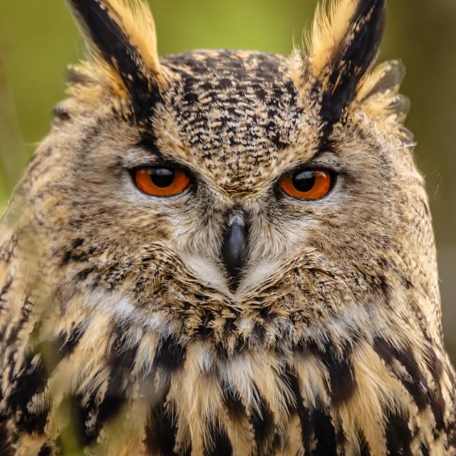 """""""European Eagle Owl on Guard"""" stock image"""