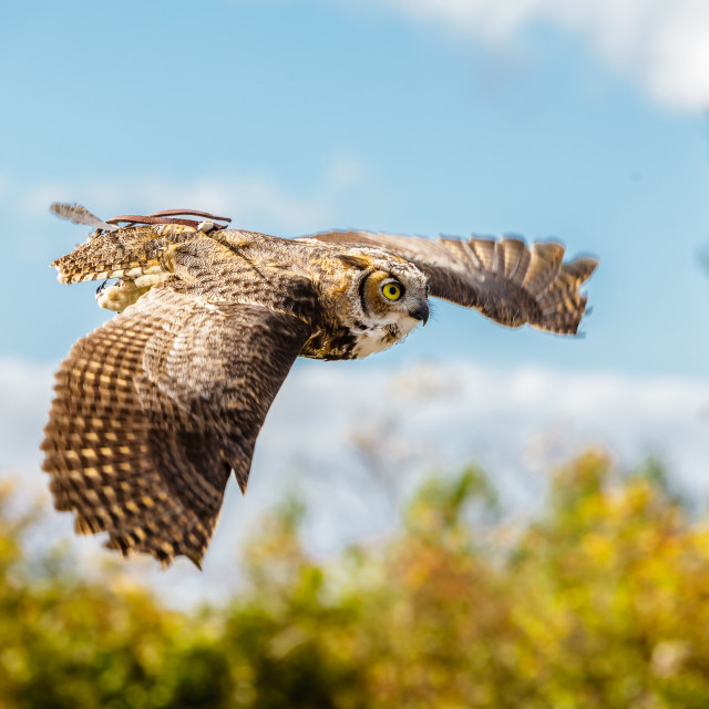 """Great Horned Owl in flight"" stock image"
