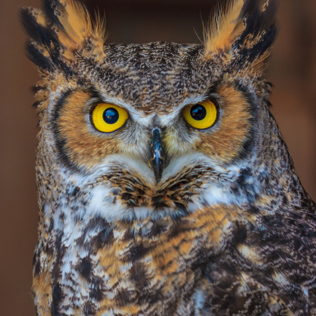 """""""Great Horned Owl sat showing off its gorgeous yellow eyes"""" stock image"""