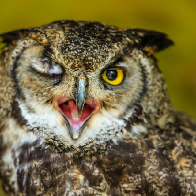"""""""A winking Great Horned Owl"""" stock image"""