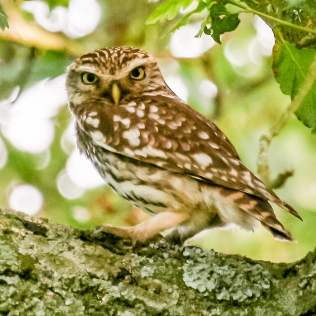 """""""A Wild Little Owl"""" stock image"""