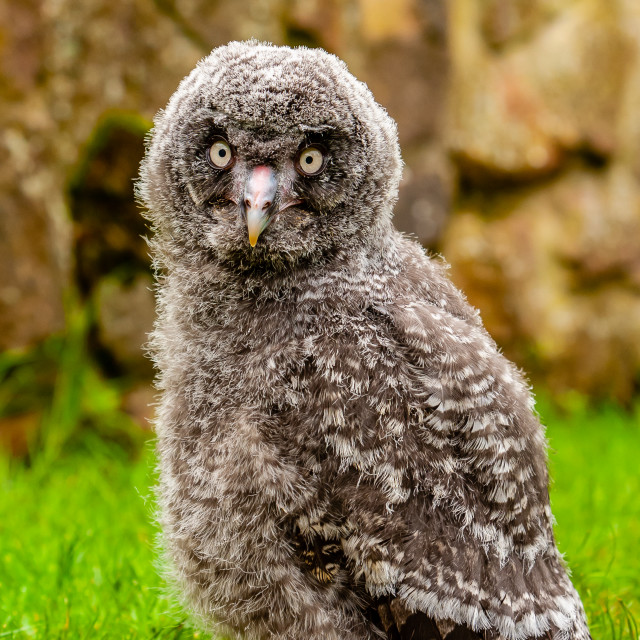 """""""A Fluffy Great Grey Owl Chick"""" stock image"""