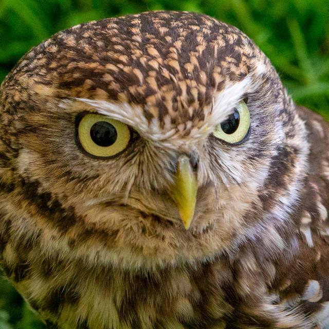 """A captive Little Owl"" stock image"